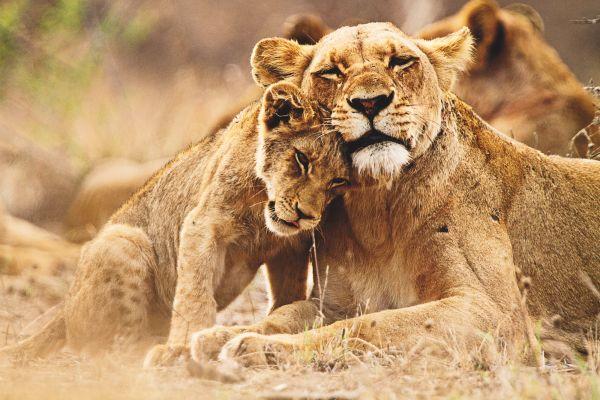 sudafrica-parque-kruger-leones-439.jpg